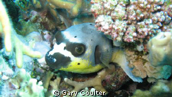 Spotted Puffer Fish in the Coral Sea by Gary Coulter 